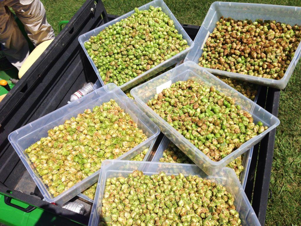 Fresh picked hops.